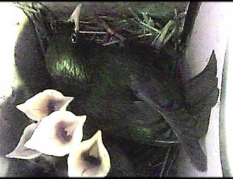 Las madres de estornino negro, pero no los padres, responden con una mayor inversión a las llamadas emitidas por los pollos durante su ausencia