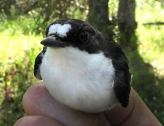 Plumage ornaments and oxidative stress in the Pied Flycatcher