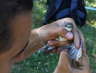Experimental pyrethroid treatment underestimates the effects of ectoparasites in cavity-nesting birds